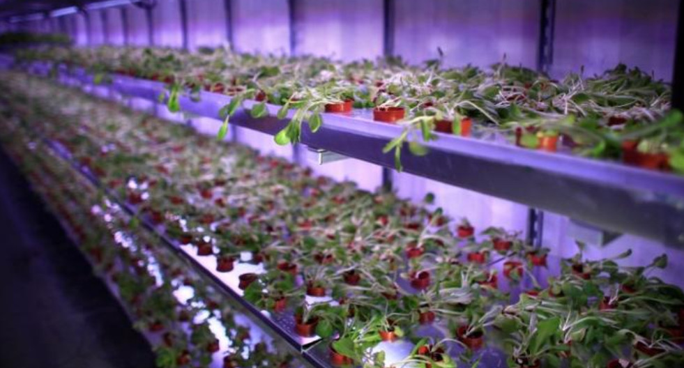Far less water consumption and the ease of controlling farming factors like nutrients delivered to plants are some of the merits of hydroponics.  Photo: Reuters